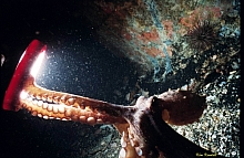 Octopus and dive light